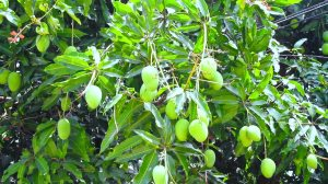 Have you seen a mango tree before?